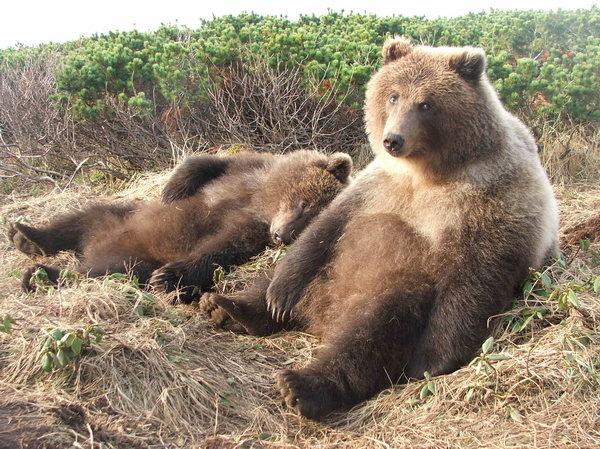 половые органы медведя смотреть фото